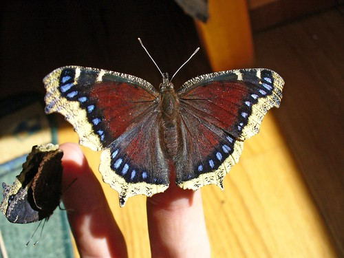 Mourning Cloak | by NatureFreak07