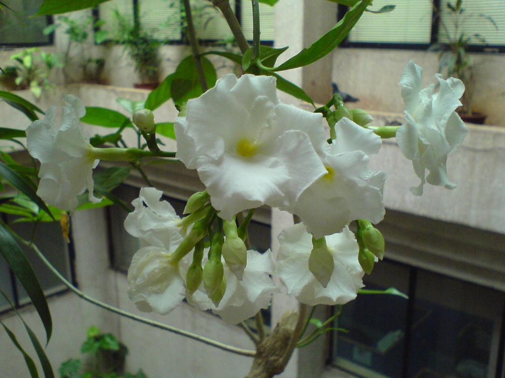 Crape Jasmine Crepe Jasmine The Crape Jasmine Crepe Jasm Flickr