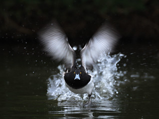 Tuffed duck take off | by richie0172