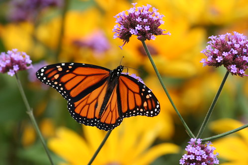 Monarch Orange on Yellow | by vtgard