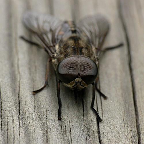 les marais du vigueirat 120 horsefly tabanidae sp les mar flickr. Black Bedroom Furniture Sets. Home Design Ideas