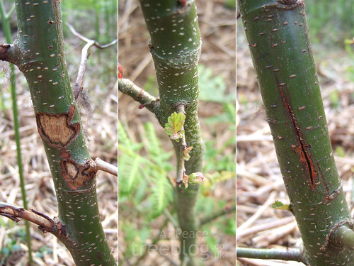 200610-alder-4-double-damage-and-stem | by treeblog