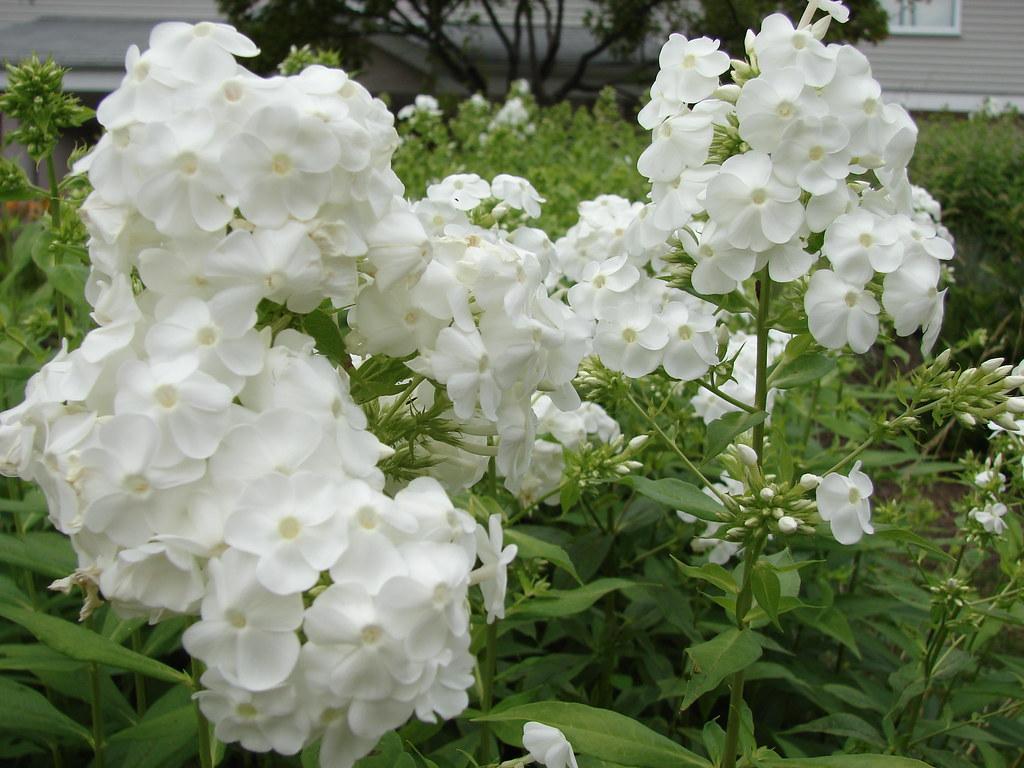 2007 08 11 Fleur Blanche Merci De Me Comuniquer Son Nom Flickr