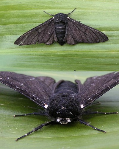 PEPPERED MOTH Biston betularia f. carbonaria | by naturalhistoryman