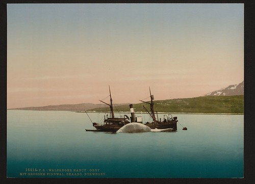 "[Whaling scenes at Skaaro. The ""Nancy Grey"" with a whale, Norway] (LOC) 