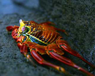 Sally Light Foot crab | by lar3