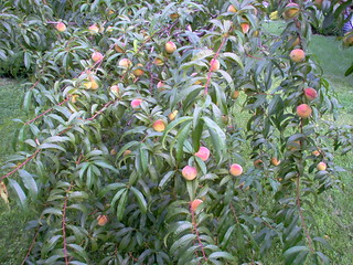 ripening peaches | by inatangle