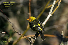 Western Tanager 2/11/07 | by 7lertsek