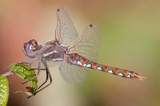 Dragonfly | by Tom Clifton