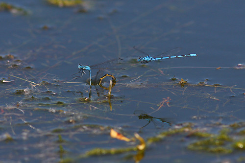 Common Blue Damselfly | by Mark T 1966