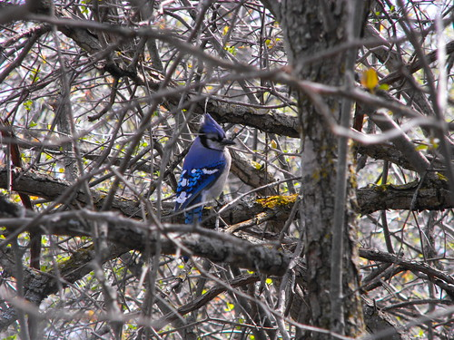 Blue Jay in Upper Canada Birds Sanctuary | by pegase1972