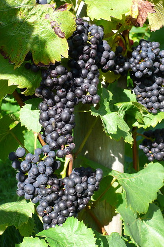 english wine grapes | by hoxtonboy