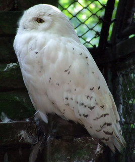 Snow owl | by RvO