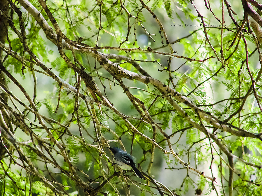 Tacuarita azul / Masked Gnatcatcher