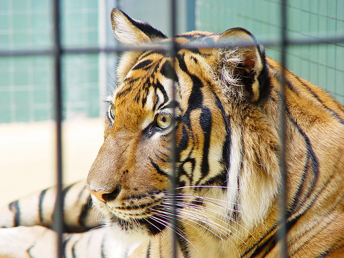 Caged tiger 1 | by Tambako the Jaguar