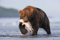 Kodiak bear catches a salmon | by echeng