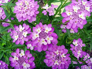 CANDYTUFT | by neil2047