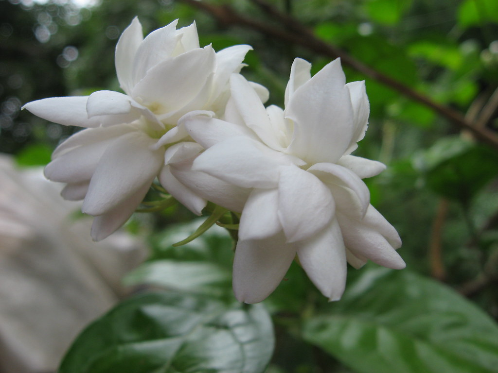 Mogra flowers common name arabian jasmine belle of india flickr mogra flowers by girishkatke mogra flowers by girishkatke izmirmasajfo
