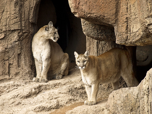 cougars in the Arizona - Sonora  Desert Museum | by gdraskoy