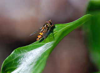 Hoverfly 01 | by lbsmsp
