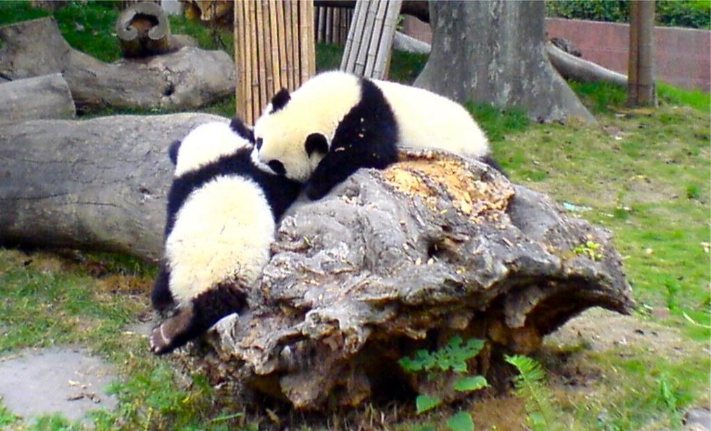 Baby Pandas Fighting | Taken in Chengdu Giant Panda Research… | Flickr