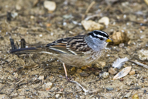 white-crowned-sparrow | by mikebaird