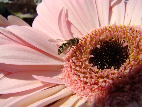 Wasp On Gerbera | by Lord Carnage