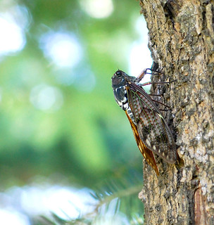 Large Brown Cicada | by autan