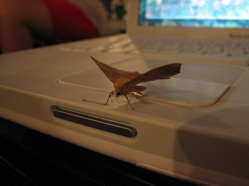 Moth laying on old iBook G4 | by daveynin