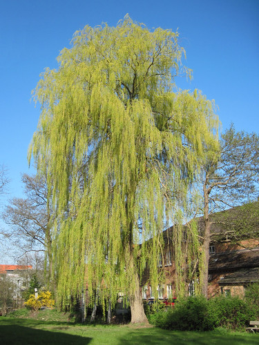 Crivitz - Weeping willow | by .patrick.