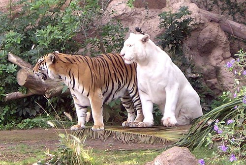 Loro Parque - Tigers | by Owlet2007