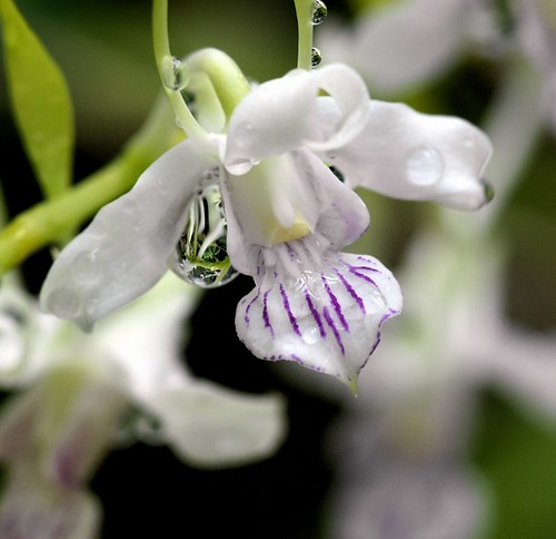Orchid / Dendrobium | by nobuflickr
