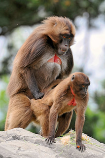 Love is in the air... | Actually yes, baboons are mating ...