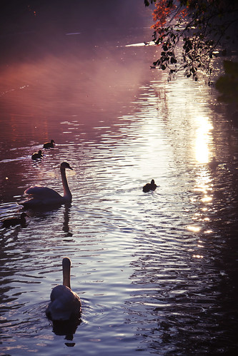 Swans and Sunset | by kirberich
