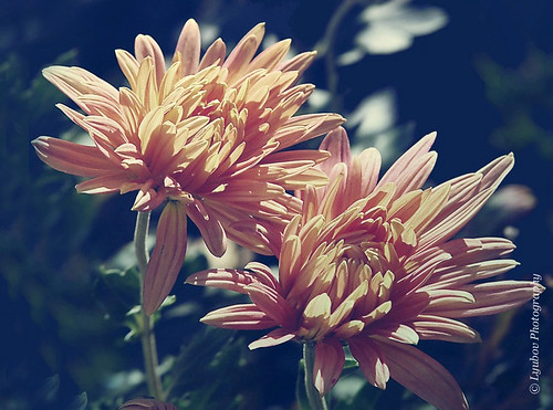 chrysanthemums... | by Lyubov
