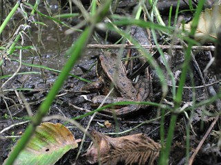 Red-legged Frog on South Fraser Witness Trail | by stopthepave