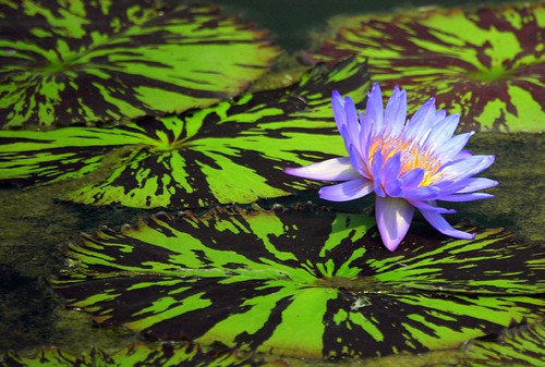 Water Lily | by ricko