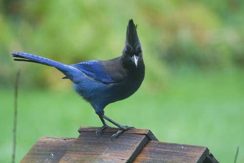 stellar's jay | by fog and swell