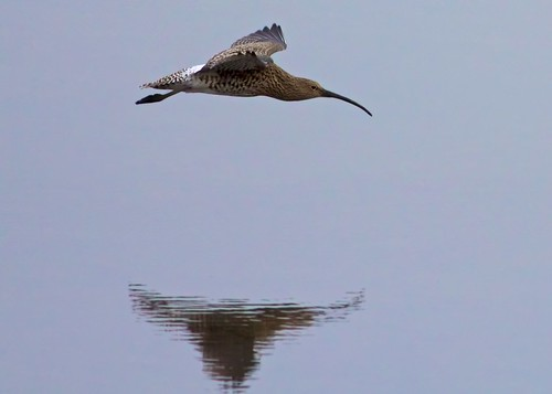 curlew in flight (EXPLORED No.50 ) | by blackfox wildlife and nature imaging