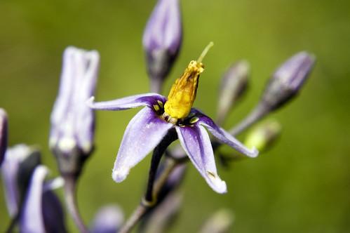 Solanum dulcamara BITTERSWEET NIGHTSHADE