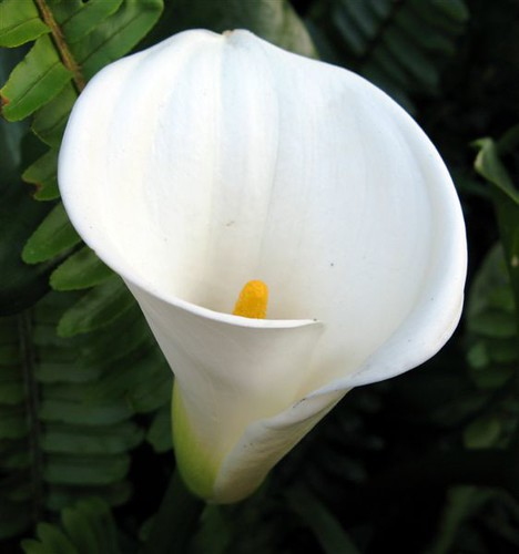Types Of Lily Names: Zantedeschia Aethiopica Common