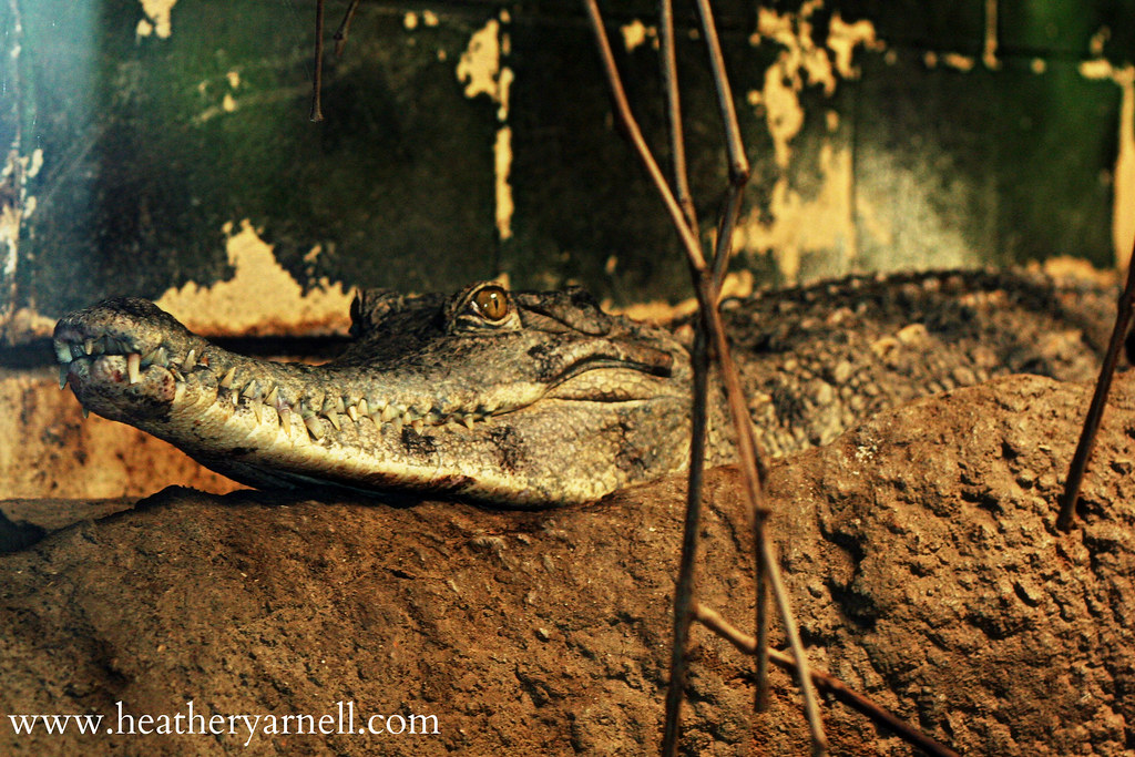 Slender-Snouted Crocodile
