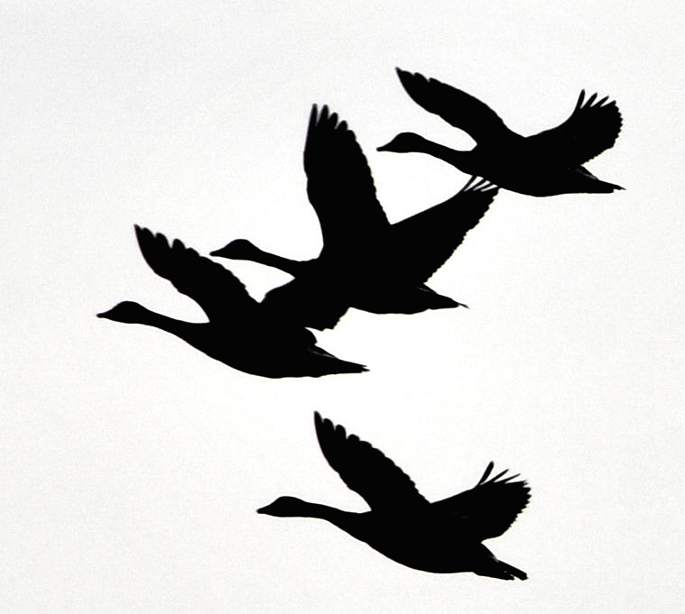 geese silhouettes by wortenoggle geese silhouettes by wortenoggle