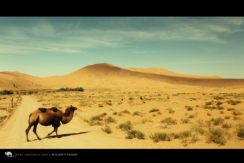 Wild camels- Walking down the street 悠閒的 | by W!LSON'S V!S!ON