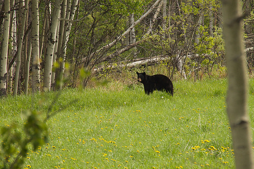 Bold Black Bear | by Contra Costa Times