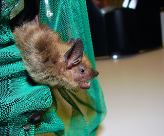 Big Brown Bat | by Furryscaly