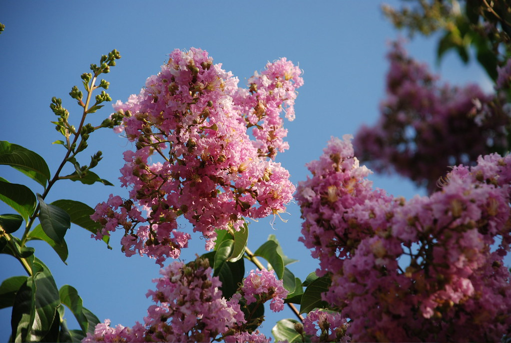 Austin Texas Pink Flowering Trees I Believe These Are Te Flickr