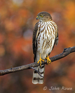 Sharp-shinned Hawk | by John I Rowe