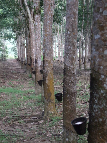 Rubber Trees Rubber Is Made From The Sap Each Morning