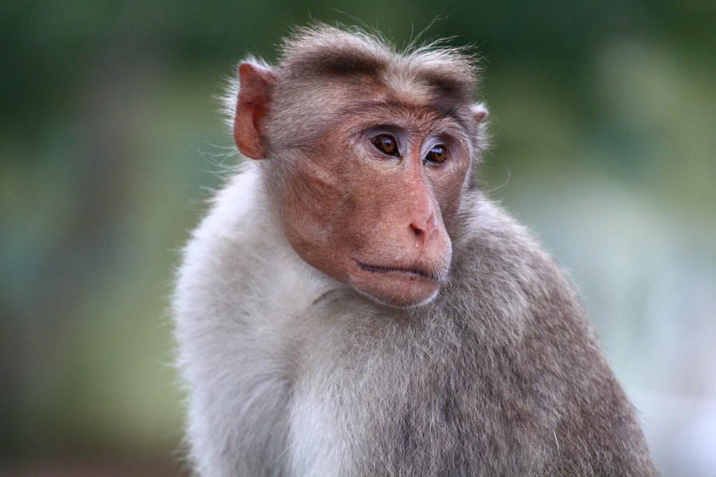 Monkey Looking right | Monkey looking right | MyBlueDoor | Flickr
